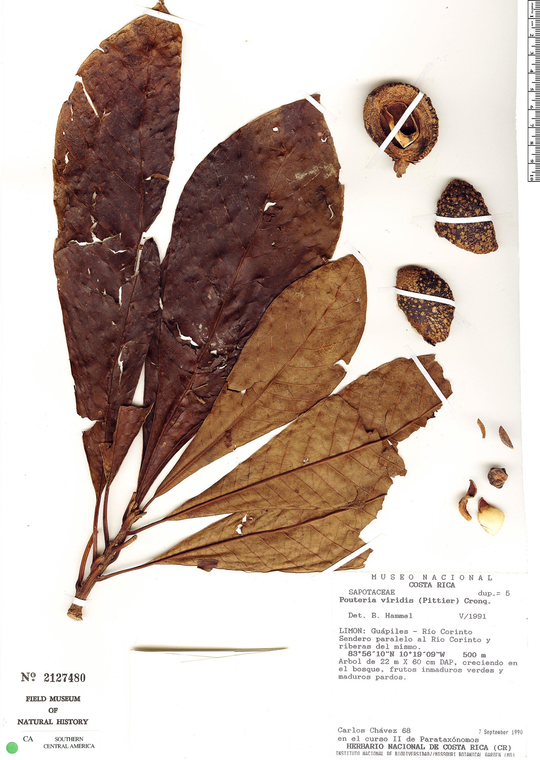 Specimen: Pouteria viridis