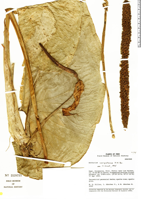Specimen: Anthurium coripatense