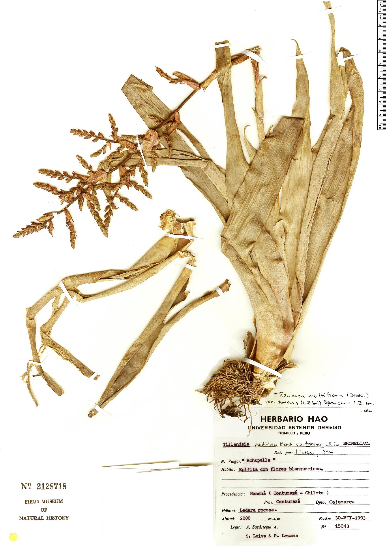 Espécime: Racinaea multiflora