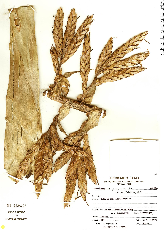 Specimen: Tillandsia pinnatodigitata