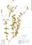 Salvia gilliesii Benth., Argentina, R. Harley 15229, F