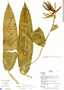 Heliconia aurantiaca Ghiesbr., Belize, M. Lowman 43, F