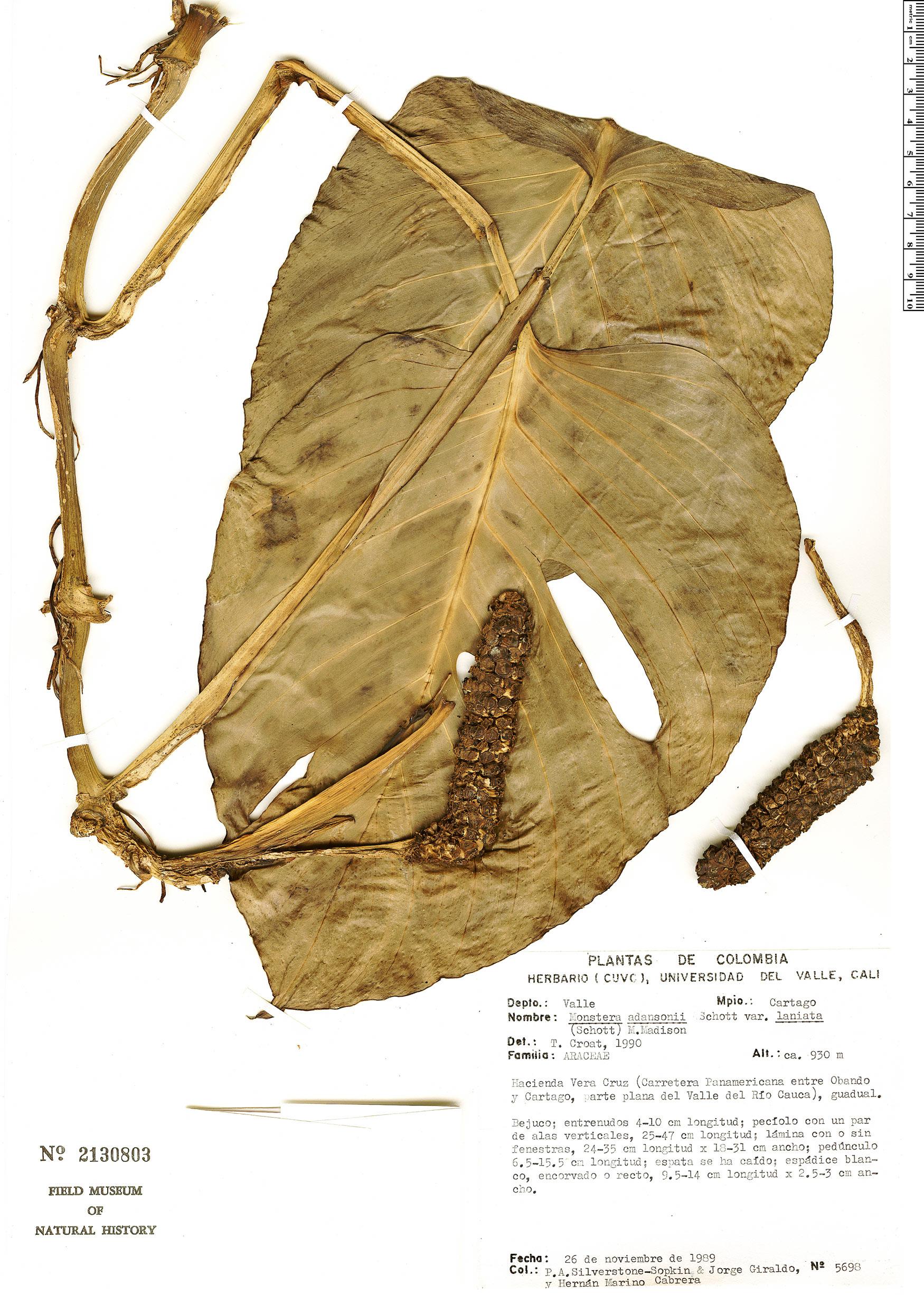 Espécime: Monstera adansonii