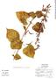 Salvia longistyla Benth., Mexico, E. Pérez-Calix 332, F