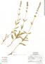 Salvia helianthemifolia Benth., Mexico, J. Rzedowski 47803, F