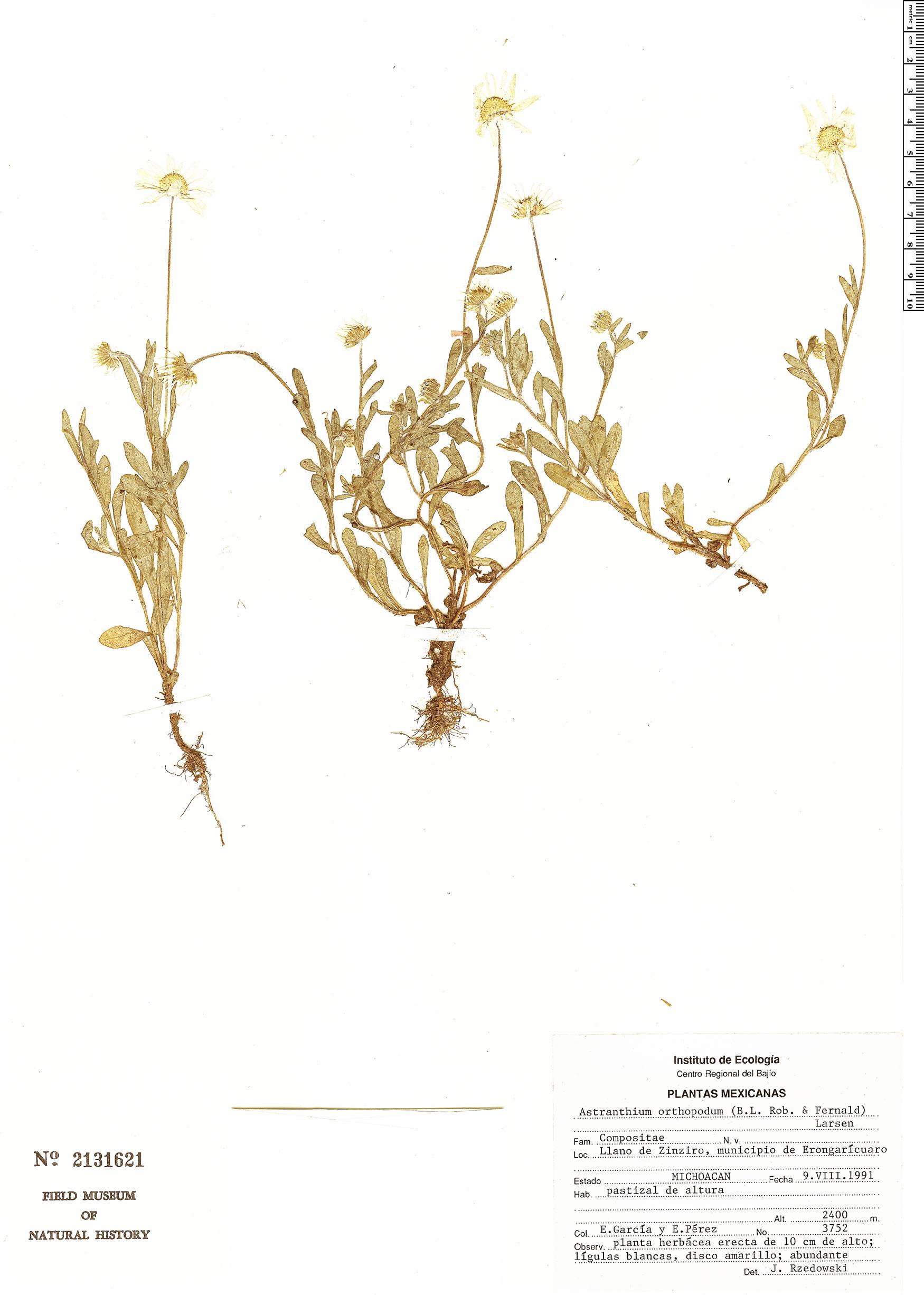 Astranthium orthopodum image
