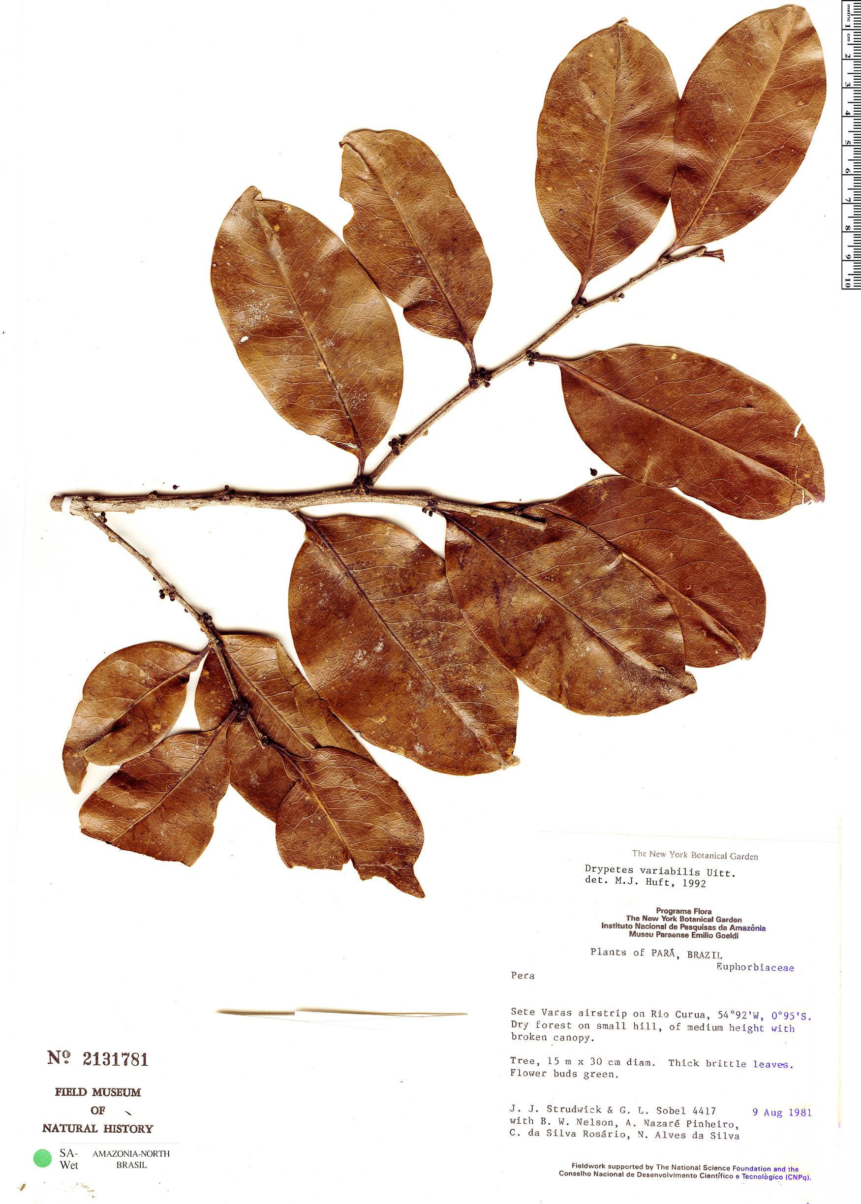 Specimen: Drypetes variabilis