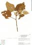 Croton palanostigma Klotzsch, Brazil, T. C. Plowman 12475, F