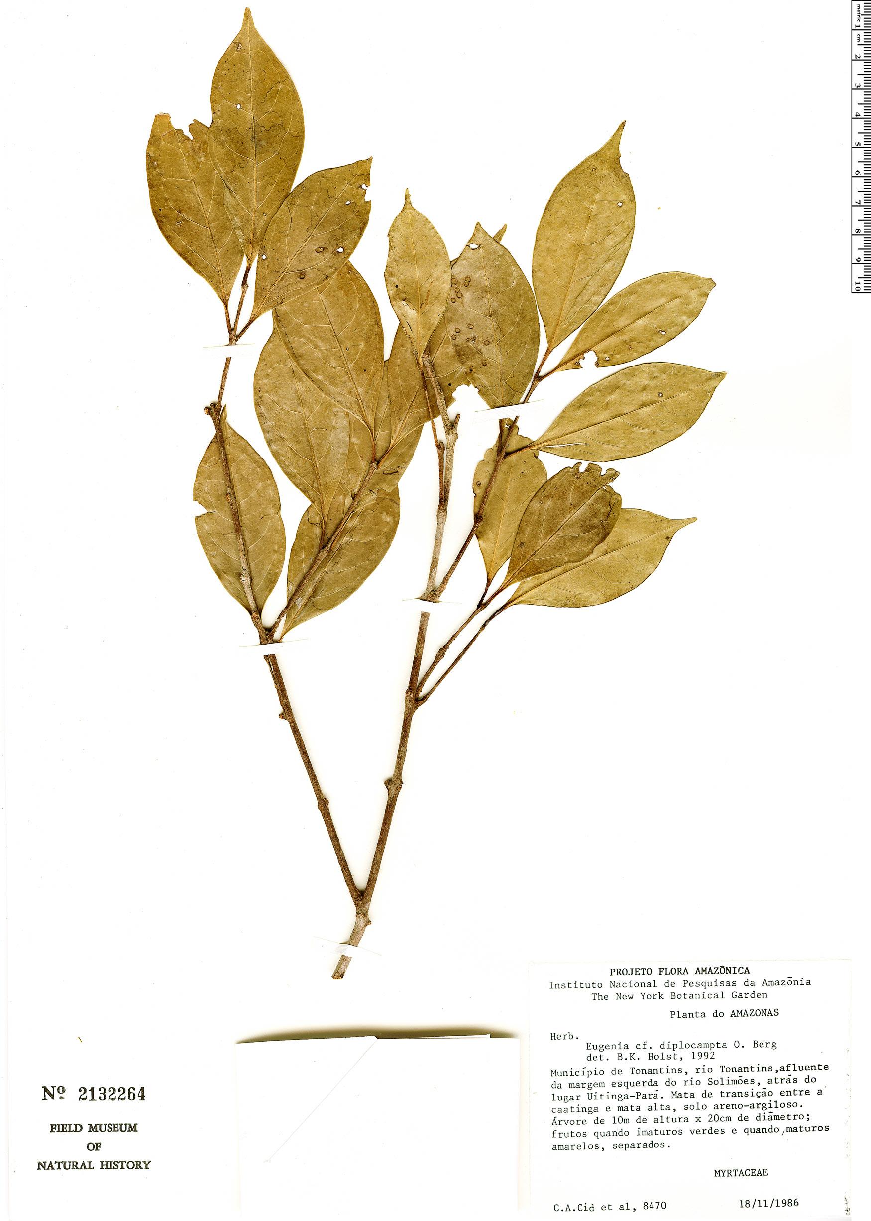 Specimen: Eugenia diplocampta