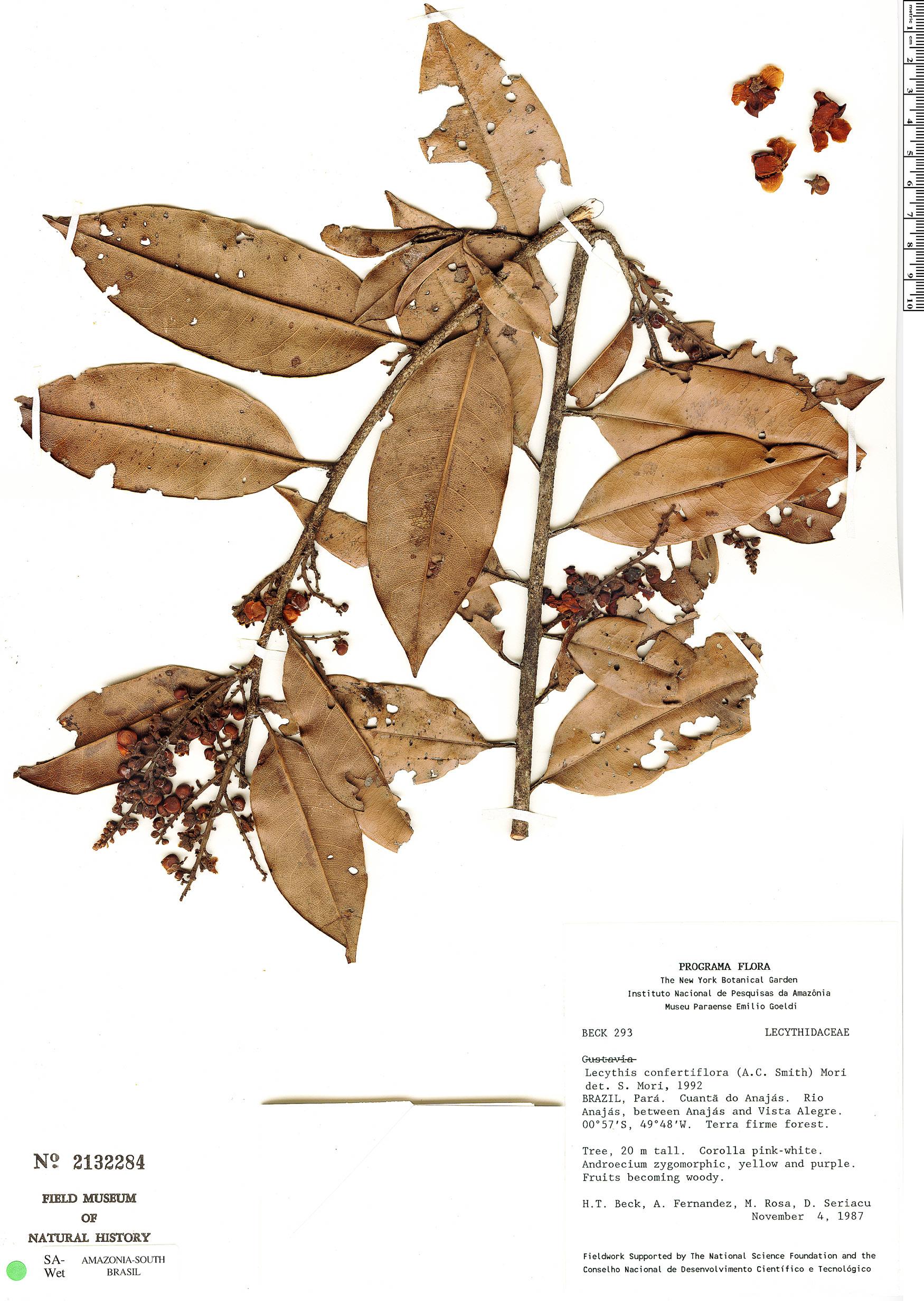 Specimen: Lecythis corrugata