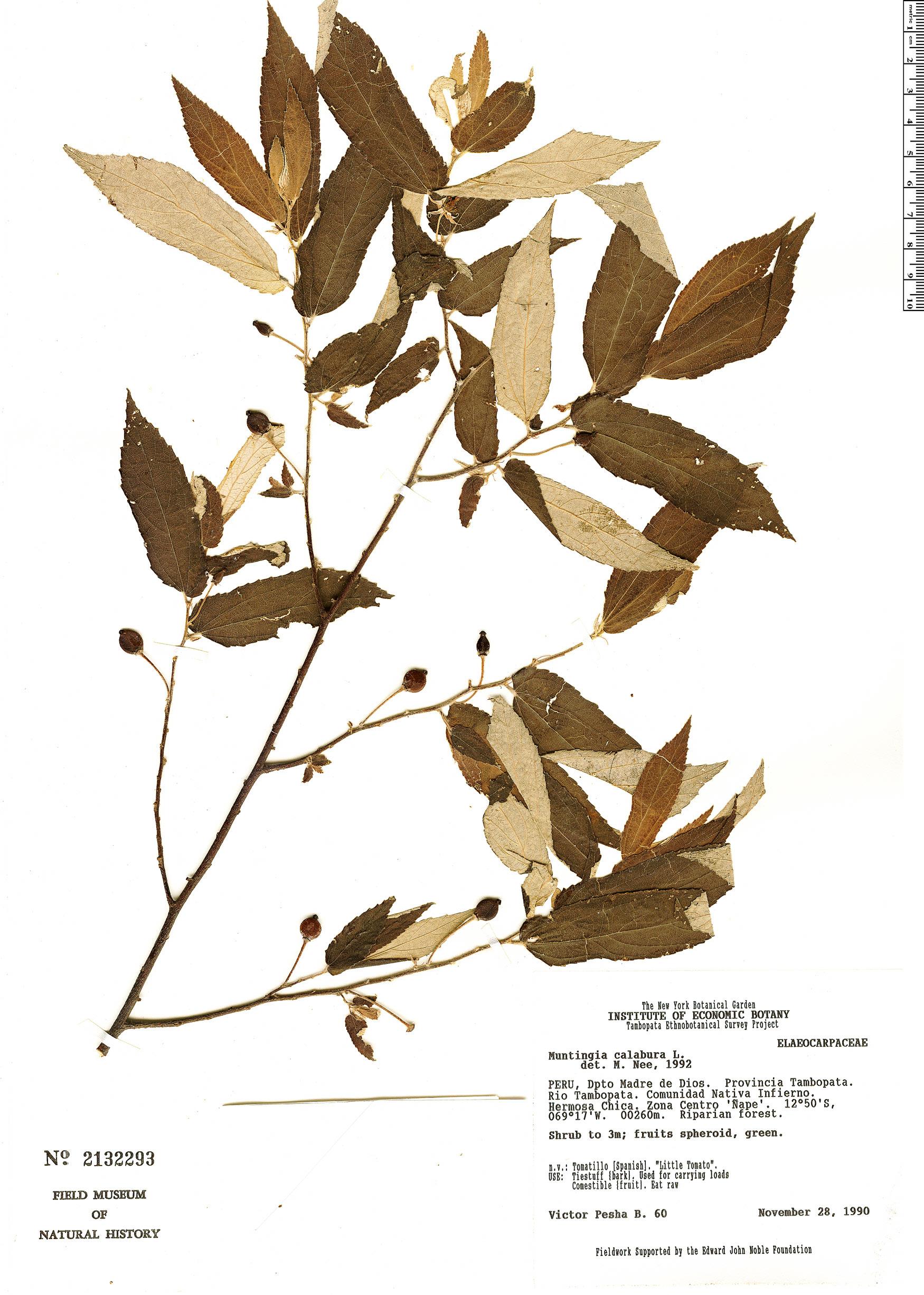 Specimen: Muntingia calabura