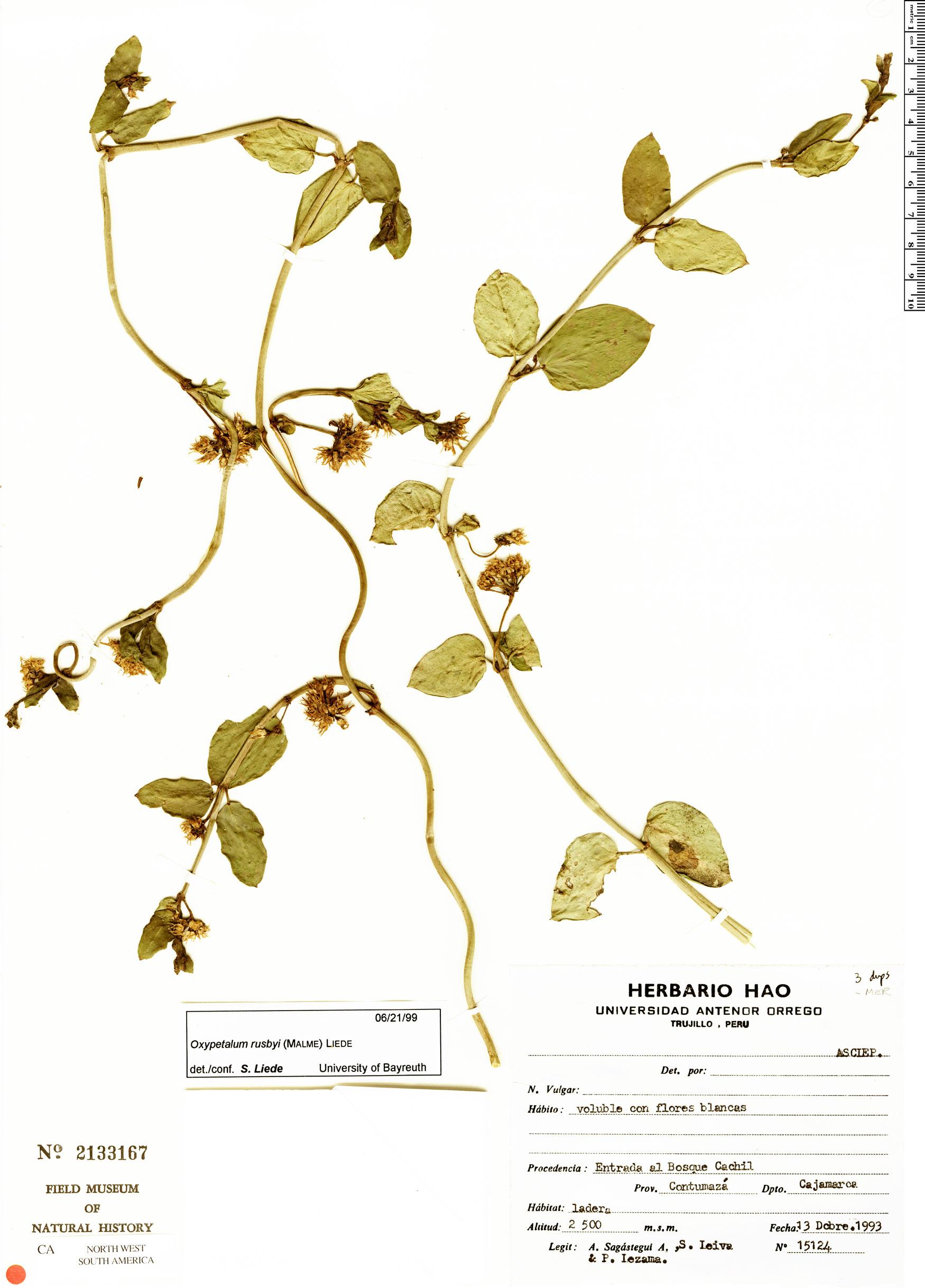 Specimen: Cynanchum longirostrum
