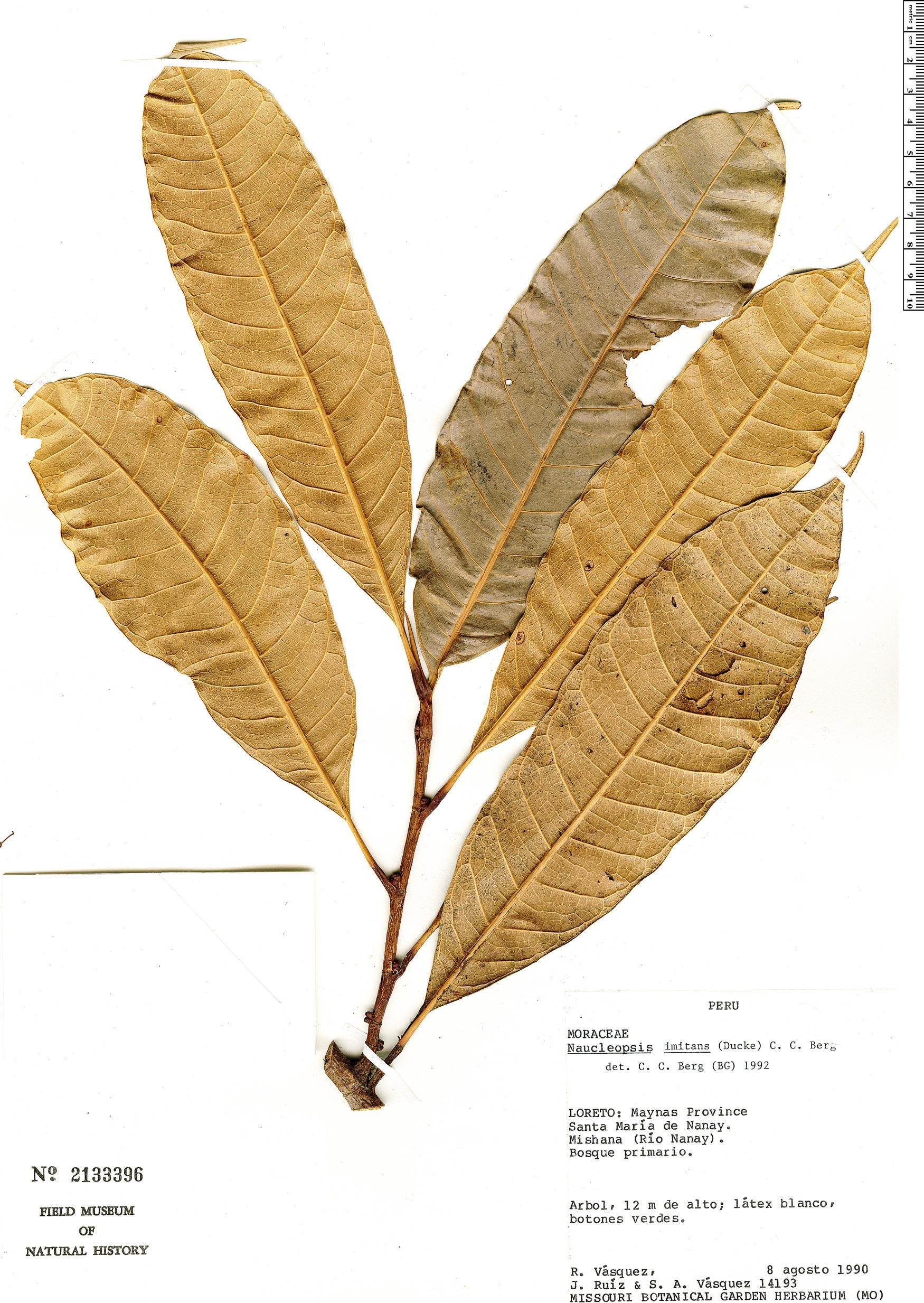 Specimen: Naucleopsis imitans