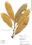 Naucleopsis imitans, Peru, Rod. Vásquez 14193, F