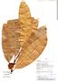 Naucleopsis imitans, Peru, J. J. Pipoly 13387, F
