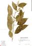 Chamissoa altissima (Jacq.) Kunth, Ecuador, G. W. Harling 18077, F
