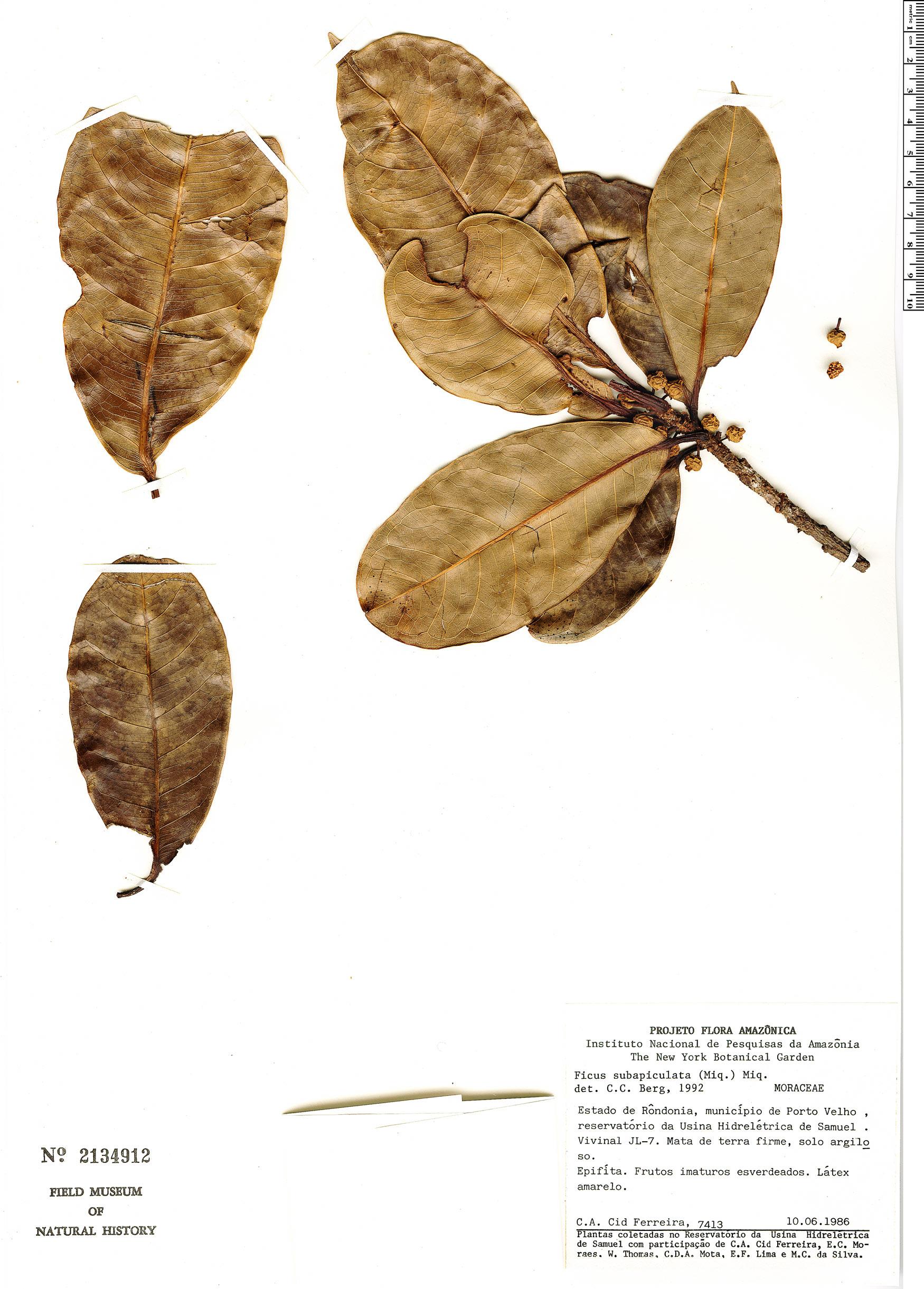 Specimen: Ficus americana