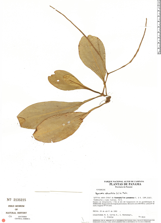 Specimen: Peperomia obtusifolia