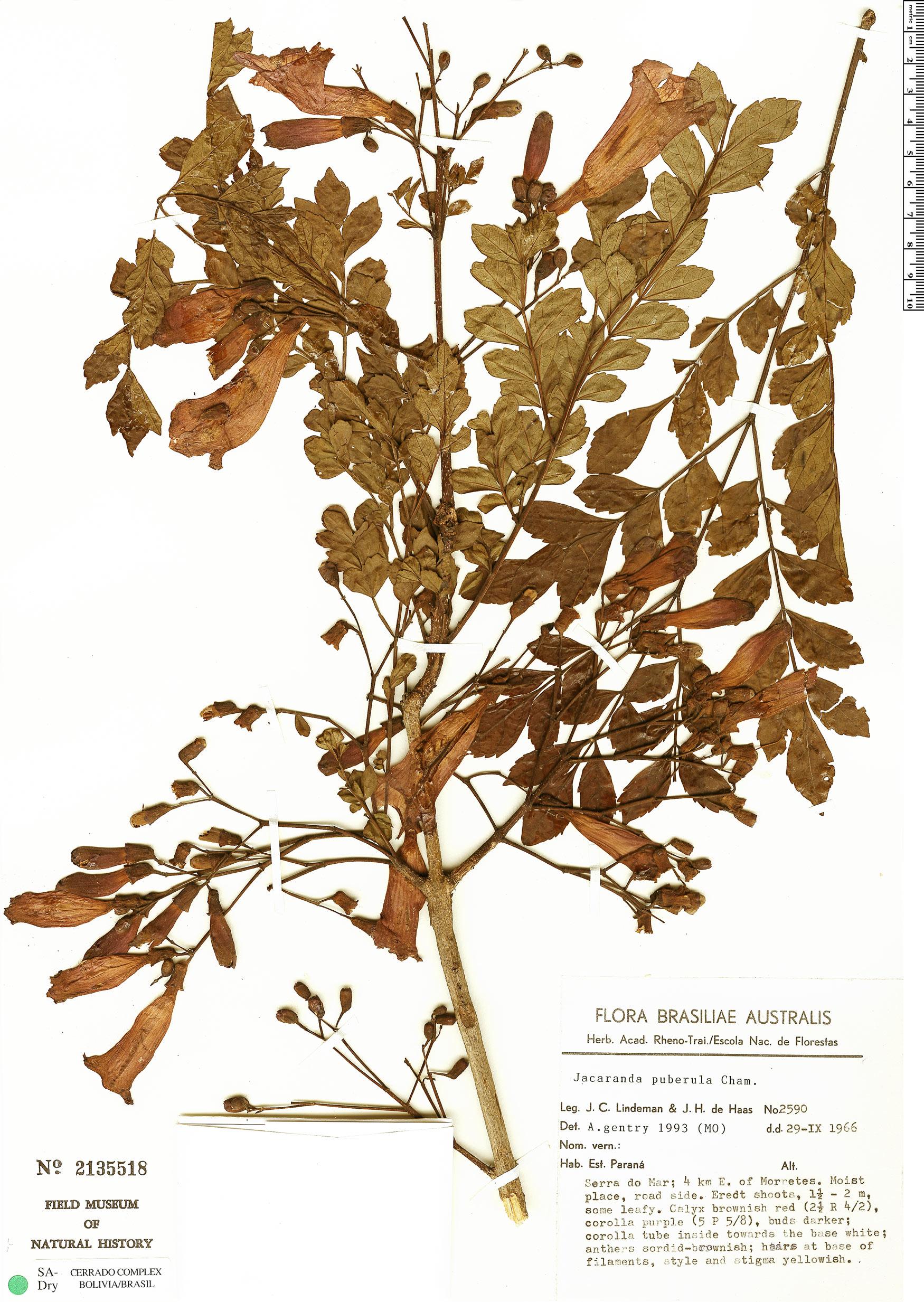 Specimen: Jacaranda puberula