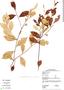 Licania leptostachya Benth., Guyana, M. J. Jansen-Jacobs 2438, F