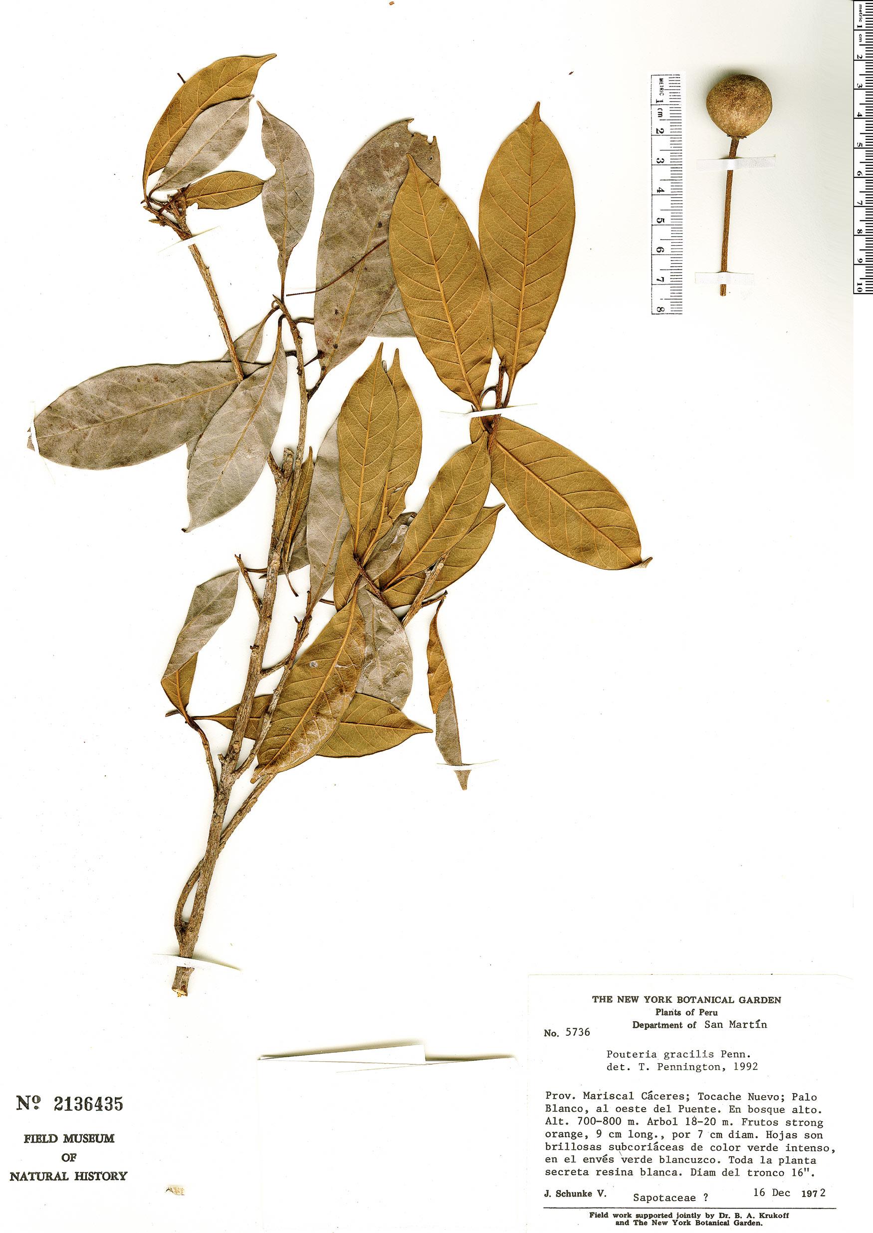 Specimen: Pouteria gracilis