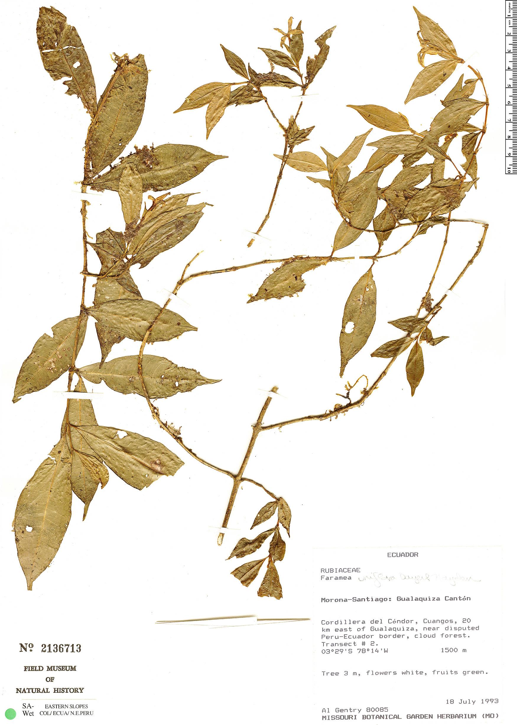 Specimen: Faramea uniflora