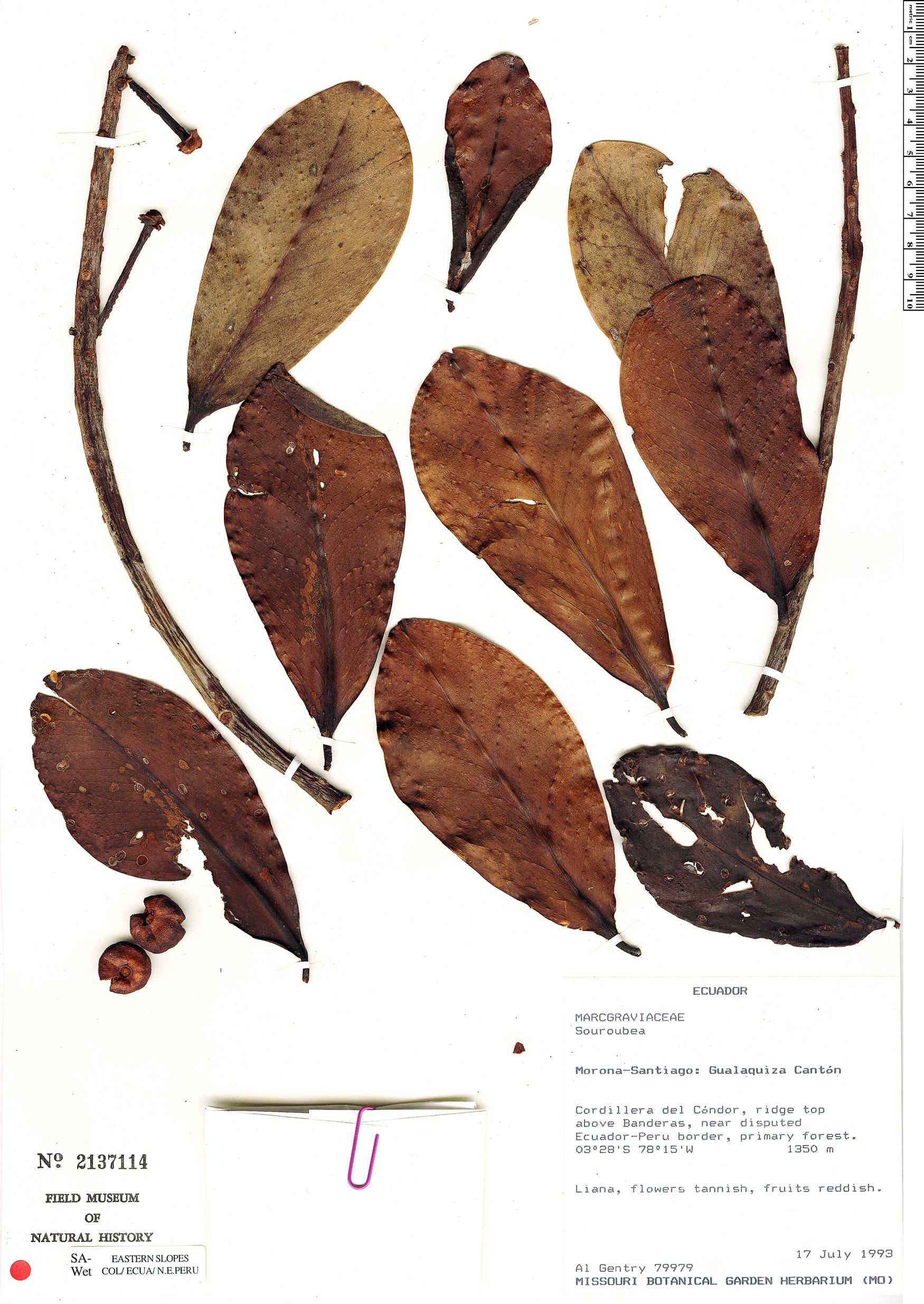 Specimen: Souroubea pachyphylla