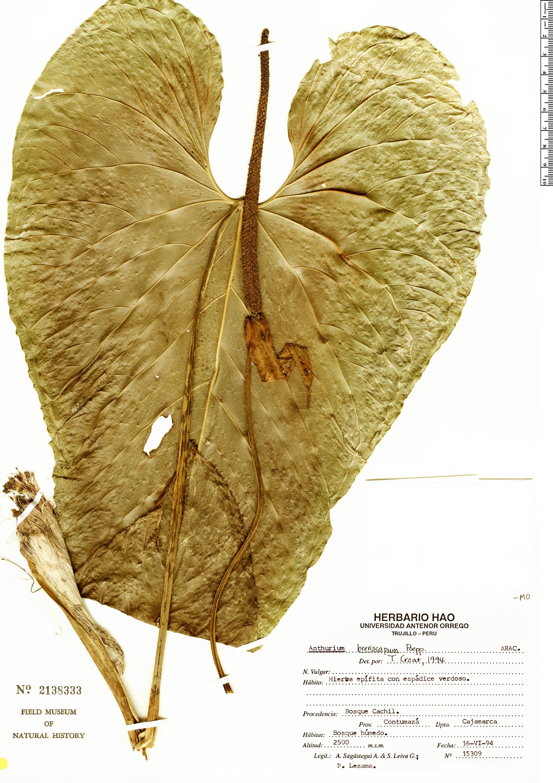 Specimen: Anthurium breviscapum