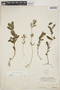 Euphorbia hypericifolia L., BERMUDA, C. F. Millspaugh 83, F