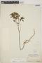 Euphorbia hypericifolia L., BERMUDA, C. F. Millspaugh 1784, F