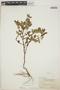 Euphorbia hypericifolia L., BERMUDA, F. S. Collins 222, F