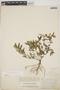 Euphorbia hypericifolia L., BAHAMAS, J. I. Northrop 380, F