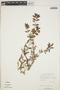 Euphorbia hypericifolia L., BAHAMAS, D. S. Correll 45646, F