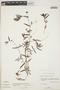 Euphorbia hypericifolia L., BAHAMAS, D. S. Correll 43893, F