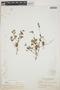 Euphorbia hypericifolia L., BAHAMAS, E. G. Britton 3199, F