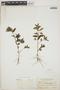 Euphorbia hypericifolia L., BAHAMAS, N. L. Britton 2476, F