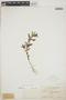 Euphorbia hypericifolia L., BAHAMAS, N. L. Britton 2945, F
