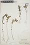 Euphorbia hypericifolia L., BAHAMAS, N. L. Britton 6053, F