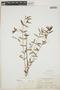 Euphorbia hypericifolia L., BAHAMAS, N. L. Britton 535, F