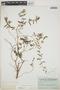 Euphorbia hypericifolia L., BAHAMAS, C. F. Millspaugh 2227, F