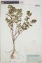 Euphorbia hypericifolia L., BAHAMAS, C. F. Millspaugh 2399, F