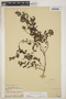Euphorbia hypericifolia L., BAHAMAS, L. J. K. Brace 179, F