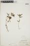 Euphorbia hypericifolia L., BAHAMAS, L. J. K. Brace 7033, F