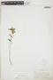 Euphorbia hypericifolia L., CUBA, W. Palmer 805, F