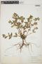 Chamaesyce hypericifolia image