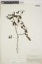 Euphorbia hypericifolia L., British West Indies, W. C. Fishlock 9, F