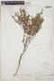 Euphorbia lecheoides Millsp., BAHAMAS, N. L. Britton 2779, F