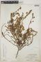 Euphorbia mesembryanthemifolia Jacq., BAHAMAS, C. F. Millspaugh 9368, F