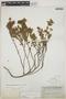 Euphorbia mesembryanthemifolia Jacq., BAHAMAS, C. F. Millspaugh 2418, F