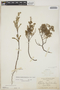 Euphorbia mesembryanthemifolia Jacq., BAHAMAS, L. J. K. Brace 5046, F